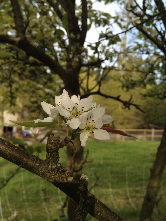 Asian Pear blooms